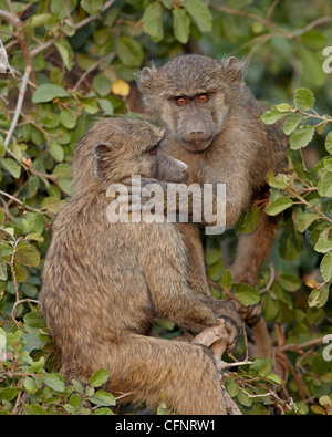Two young Olive baboons (Papio cynocephalus anubis), Serengeti National Park, Tanzania, East Africa, Africa - Stock Photo