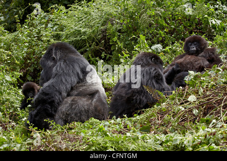 Four mountain gorillas (Gorilla gorilla beringei) of the Amahoro group, Volcanoes National Park, Rwanda, Africa - Stock Photo