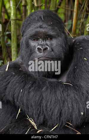 Silverback mountain gorilla (Gorilla gorilla beringei) of the Kwitonda group, Volcanoes National Park, Rwanda, Africa - Stock Photo