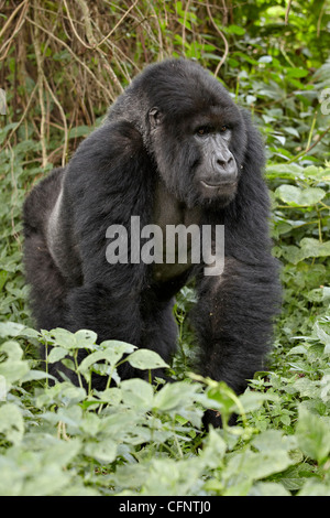 Mountain gorilla (Gorilla gorilla beringei), Volcanoes National Park, Rwanda, Africa - Stock Photo