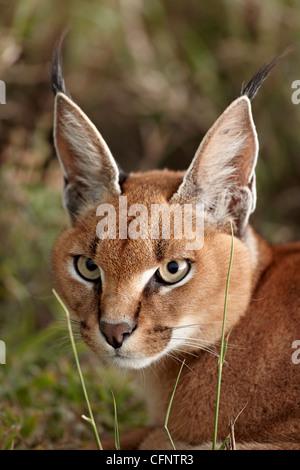 Caracal (Caracal caracal), Serengeti National Park, Tanzania, East Africa, Africa - Stock Photo