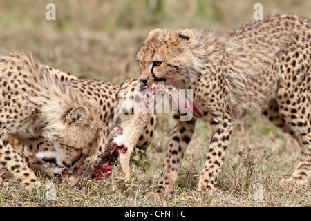 Two cheetah (Acinonyx jubatus) cubs at an African hare kill, Serengeti National Park, Tanzania, East Africa, Africa - Stock Photo