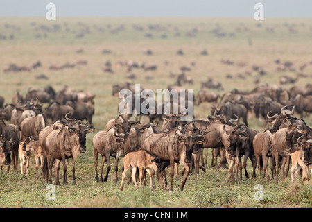 Blue wildebeest (brindled gnu) (Connochaetes taurinus) herd, Serengeti National Park, Tanzania, East Africa, Africa - Stock Photo