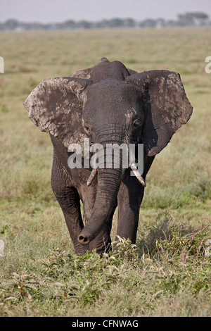 African elephant (Loxodonta africana), Serengeti National Park, Tanzania, East Africa, Africa - Stock Photo