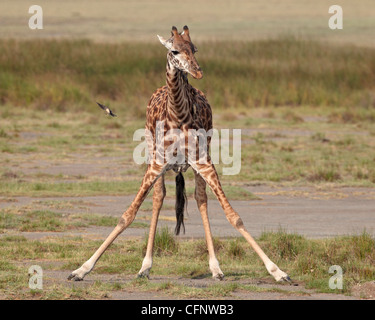Masai giraffe (Giraffa camelopardalis tippelskirchi) drinking, Serengeti National Park, Tanzania, East Africa, Africa Stock Photo
