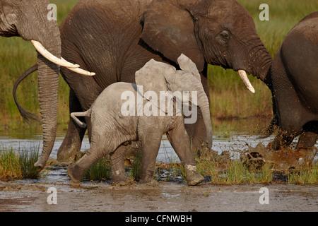 Baby African elephant (Loxodonta africana), Serengeti National Park, Tanzania, East Africa, Africa - Stock Photo