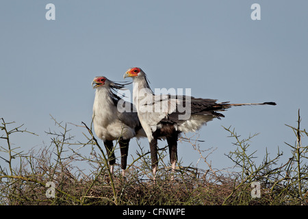 Secretarybird (Sagittarius serpentarius) pair atop their nest, Serengeti National Park, Tanzania, East Africa, Africa - Stock Photo