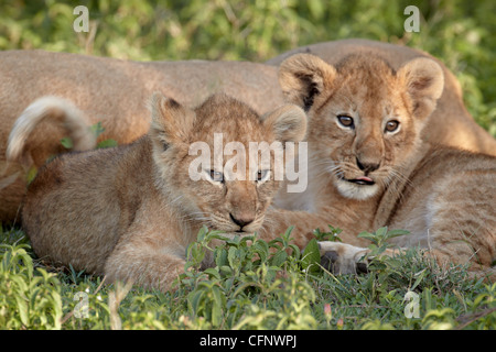 Two young lion (Panthera leo) cubs, Serengeti National Park, Tanzania, East Africa, Africa - Stock Photo