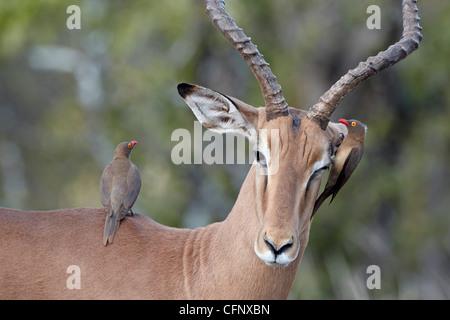 Male impala (Aepyceros melampus), Kruger National Park, South Africa, Africa - Stock Photo