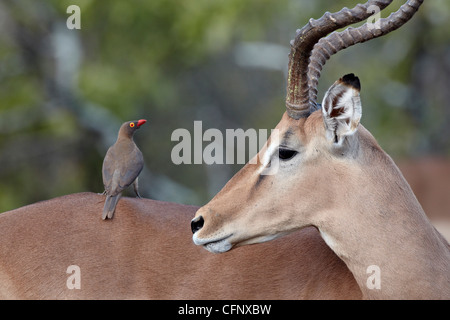 Male impala (Aepyceros melampus), Kruger National Park, South Africa, Africa - Stock Photo