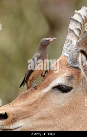 Immature red-billed oxpecker (Buphagus erythrorhynchus) on an impala, Kruger National Park, South Africa, Africa - Stock Photo