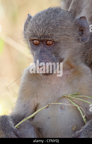 Young Chacma baboon (Papio ursinus), Kruger National Park, South Africa, Africa - Stock Photo
