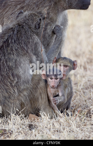 Two infant Chacma baboons (Papio ursinus), Kruger National Park, South Africa, Africa - Stock Photo