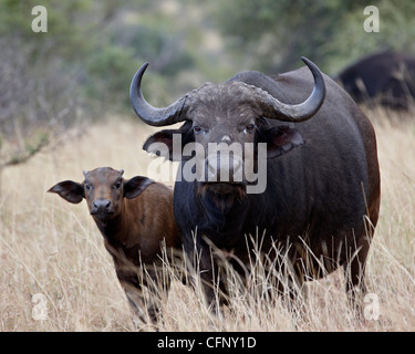 Cape buffalo (African buffalo) (Syncerus caffer) cow and calf, Kruger National Park, South Africa, Africa - Stock Photo