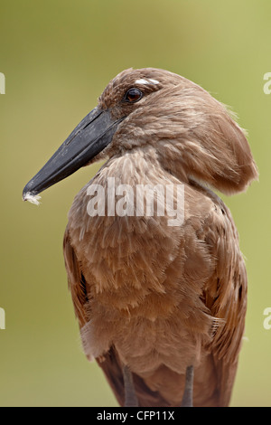 Hamerkop (Scopus umbretta), Kruger National Park, South Africa, Africa - Stock Photo