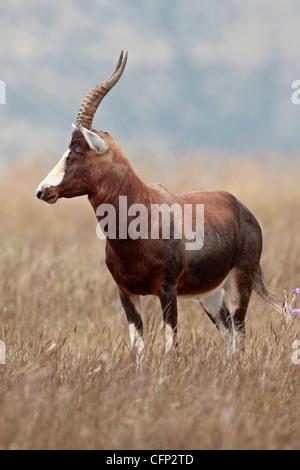 Blesbok (Damaliscus pygargus phillipsi), Mountain Zebra National Park, South Africa, Africa - Stock Photo