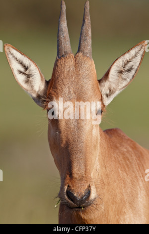 Young red hartebeest (Alcelaphus buselaphus), Addo Elephant National Park, South Africa, Africa - Stock Photo
