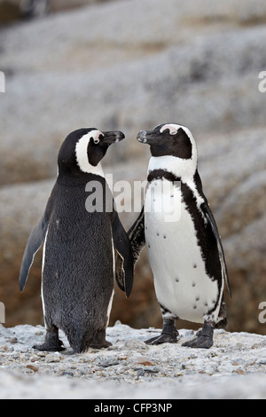 Two African penguins (Spheniscus demersus) pair, Simon's Town, South Africa, Africa - Stock Photo