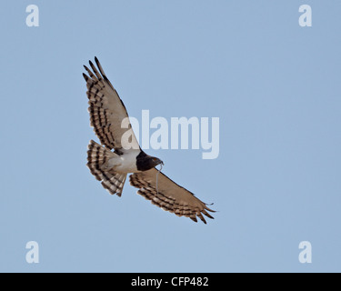 Black-breasted snake eagle (black-chested snake eagle),Kalahari Gemsbok National Park, South Africa, Africa - Stock Photo