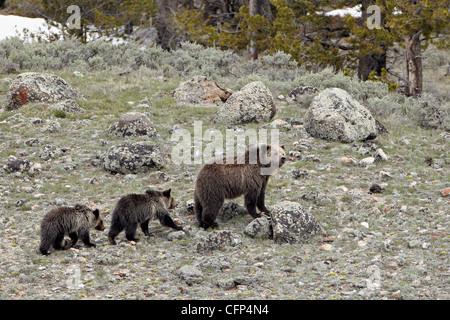 Grizzly bear (Ursus arctos horribilis), Wyoming, United States of America, North America - Stock Photo