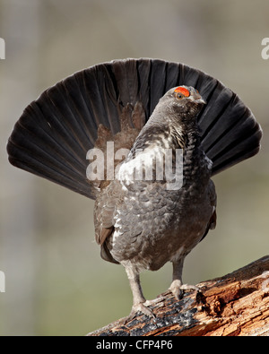 Male dusky grouse (blue grouse), Wyoming, United States of America, North America - Stock Photo