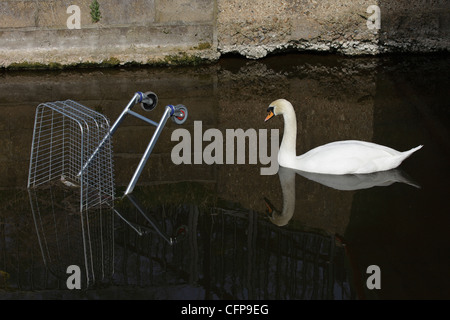 Mute swan approaching shopping trolley dumped in river - Stock Photo