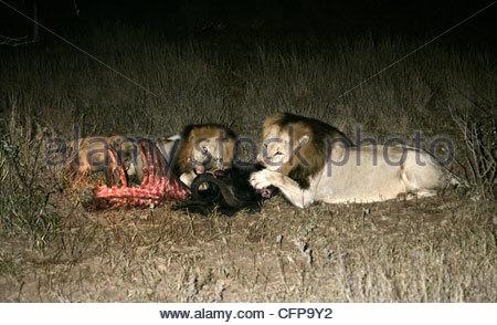 Lion Pride on Buffalo kill - Stock Photo