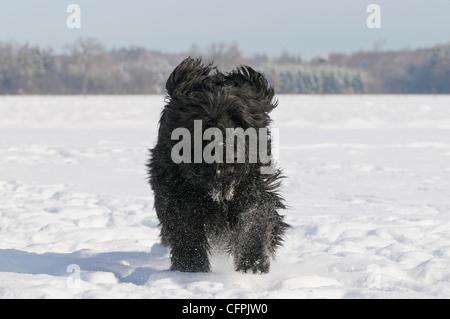 Berger de Brie (Briard) dog in snow - Stock Photo
