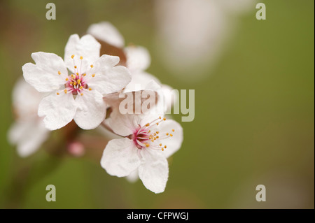 Prunus cerasifera 'Pissardii', Purple-Leaved Plum, blossom - Stock Photo