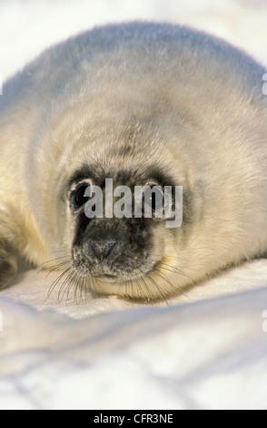 Newborn Gray Seal Pup (Halichoerus grypus), Northumberland Strait, Nova Scotia - Stock Photo