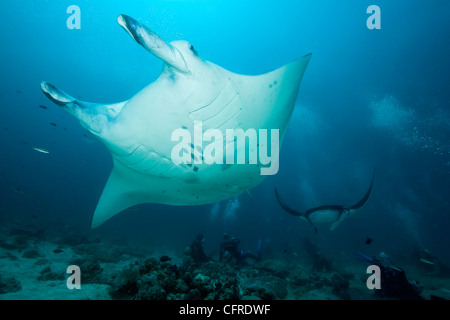 Manta ray on a cleaning station, at Donkalo Thila, dive site, Maldives, Indian Ocean - Stock Photo