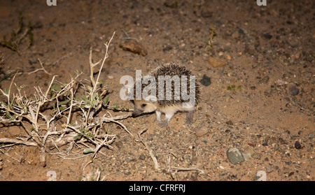 a long-eared hedgehog (Hemiechinus auritus) in the Gobi Desert of Mongolia - Stock Photo