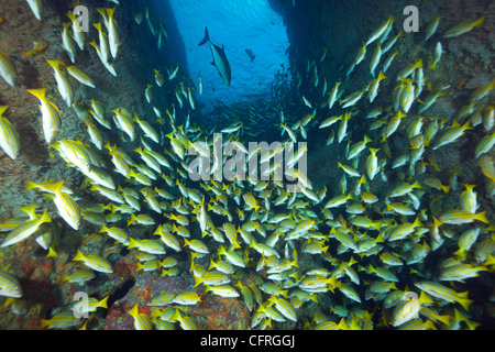 Shoal of Blue and gold snapper, La Catedral dive site, Malpelo Island National Park, Natural World Heritage Site, - Stock Photo