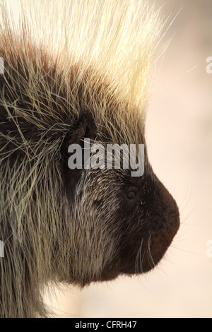 A close-up portrait of a North American Porcupine, Erethizon dorsatum - Stock Photo