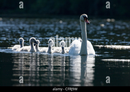 Swan and family of cygnets swimming on Bosherton Lily Ponds in Pembrokeshire, Wales - Stock Photo