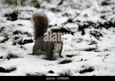 Grey squirrel UK in snow with bits of scattered seeds - Stock Photo