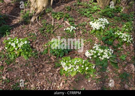 Primroses growing wild in woodland near Hay on Wye Powys Wales UK - Stock Photo