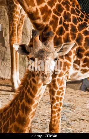 young African Giraffe - Stock Photo