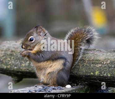 Fox Squirrel clsoe up shot - Stock Photo