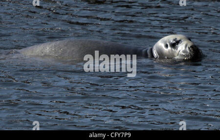 050407 tc met seal (3 of 4).... 0037591A    .........Photo by David Spencer/The Palm Beach Post....Hobe Sound.. - Stock Photo
