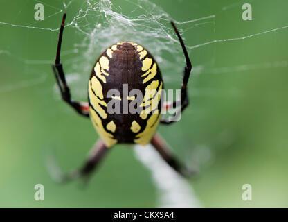 Aug. 26, 2012 - Roseburg, Oregon, U.S - A large female black and yellow garden spider (Argiope aurantia) hangs in - Stock Photo