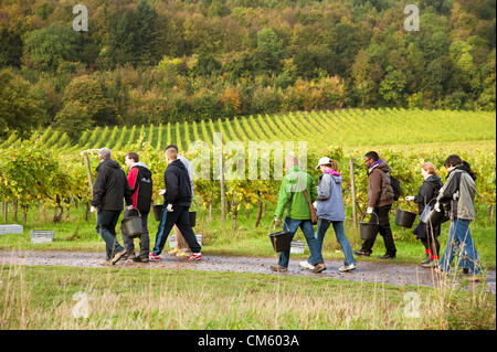 Dorking, Surrey, UK. 12th October 2012. Grape pickers arrive to commence the 2012 harvest at Denbies Wine Estate - Stock Photo