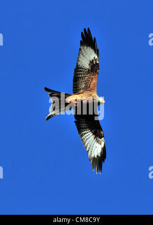 As winter begins in the UK, with blue sky and sudden low temperatures, a wild red kite visits a feeding station - Stock Photo