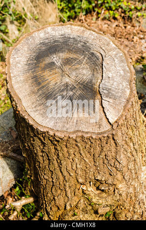 An 'apparition' looking like the face of Jesus has appeared on a tree stump in Belfast City Cemetery.  The tree - Stock Photo