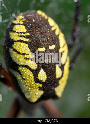 Aug. 15, 2012 - Elkton, Oregon, U.S - The unique pattern on the abdomen of a black and yellow garden spider is highlighted - Stock Photo