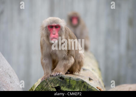 Stuttgart, Germany. 28th Oct, 2013. Japanese macaque (Macaca fuscata) at the Wilhelma Zoological-Botanical Gardens - Stock Photo