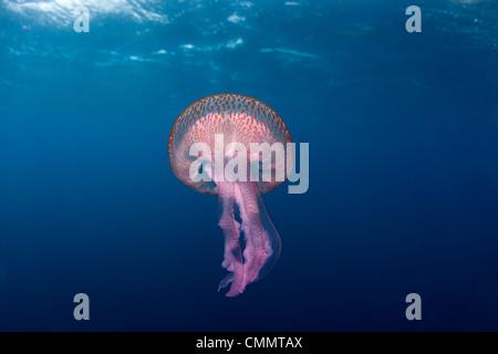 Mauve stinger jellyfish close to the surface, Marettimo Island, Egadi group, NW coast Sicily, Mediterranean Sea, - Stock Photo