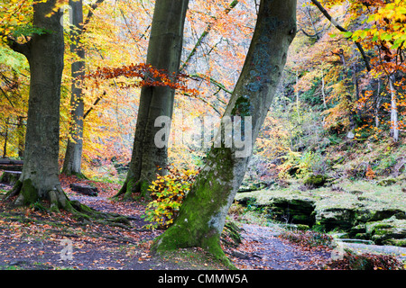 Autumn trees by The Strid in Strid Wood, Bolton Abbey, Yorkshire, England, United Kingdom, Europe - Stock Photo