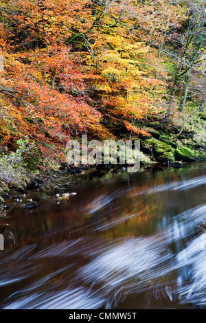 Autumn colours by the River Wharfe in Strid Wood, Bolton Abbey, Yorkshire, England, United Kingdom, Europe - Stock Photo