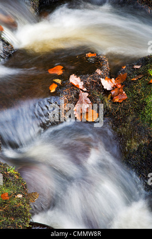 Autumn leaves in Posforth Gill, Bolton Abbey, Yorkshire, England, United Kingdom, Europe - Stock Photo
